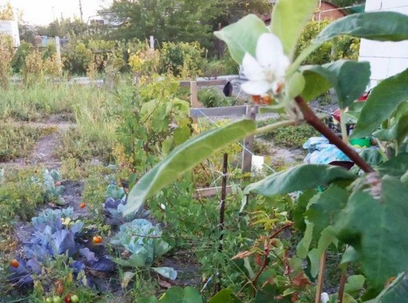 Природная аномалия: в Бердянске второй раз за год расцвели яблони