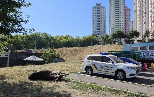 В Киеве машина сбила лося, который часто гулял улицами столицы