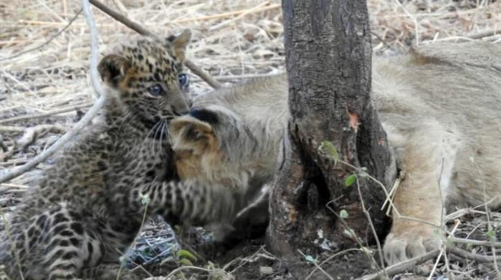 львица, леопард