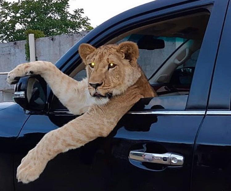 Харьковчанин держит у себя дома взрослого льва