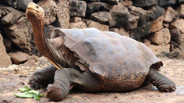 Завидное либидо 100-летней черепахи спасло от вымирания целый вид