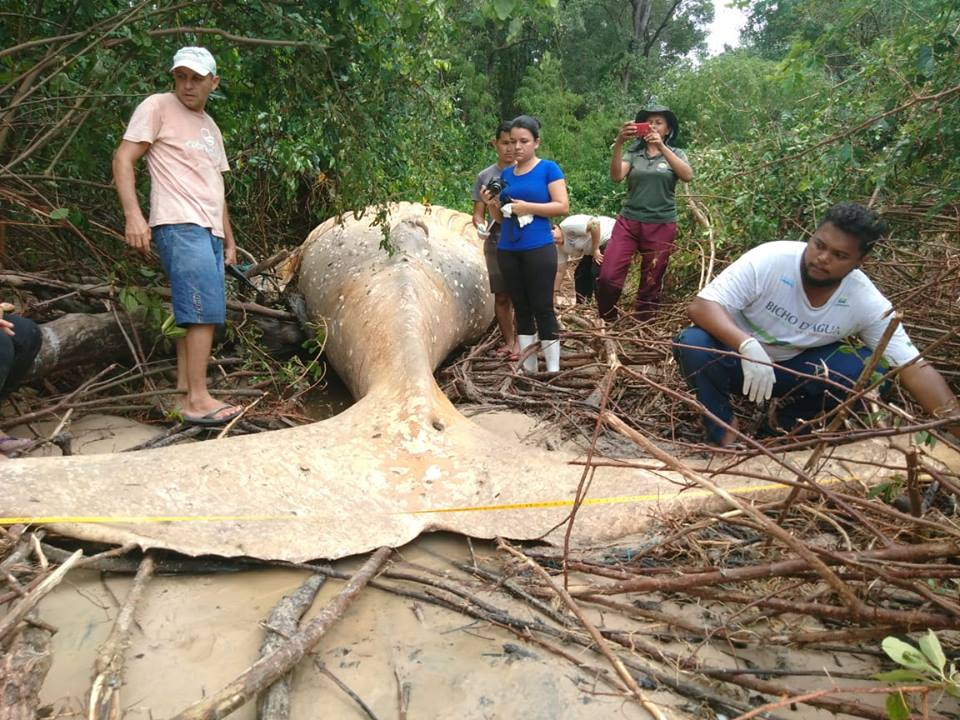 В джунглях Бразилии нашли 8-метрового горбатого кита