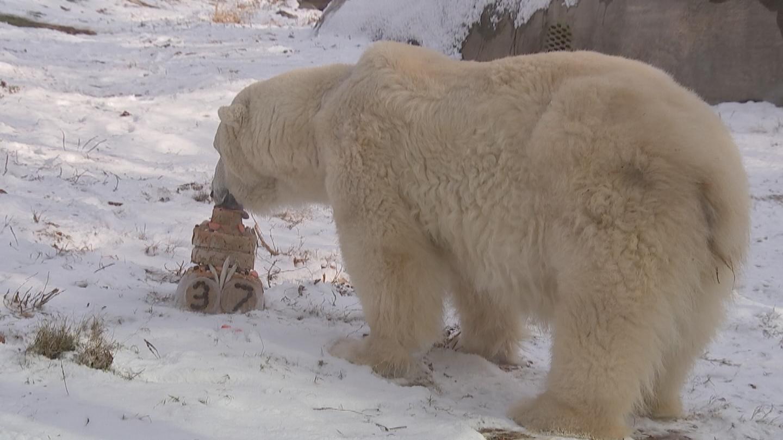 Самый старый в мире белый медведь отпраздновал 37-й день рождения