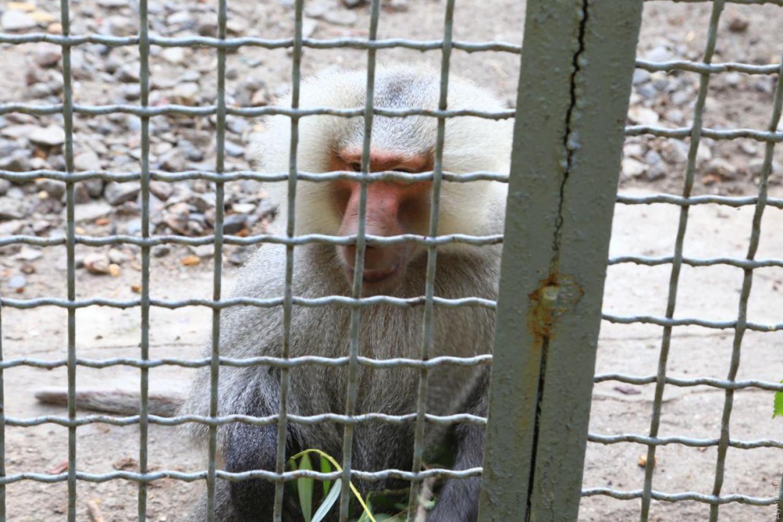 Из одесского зоопарка сбежали три павиана: всех поймали с помощью полици...