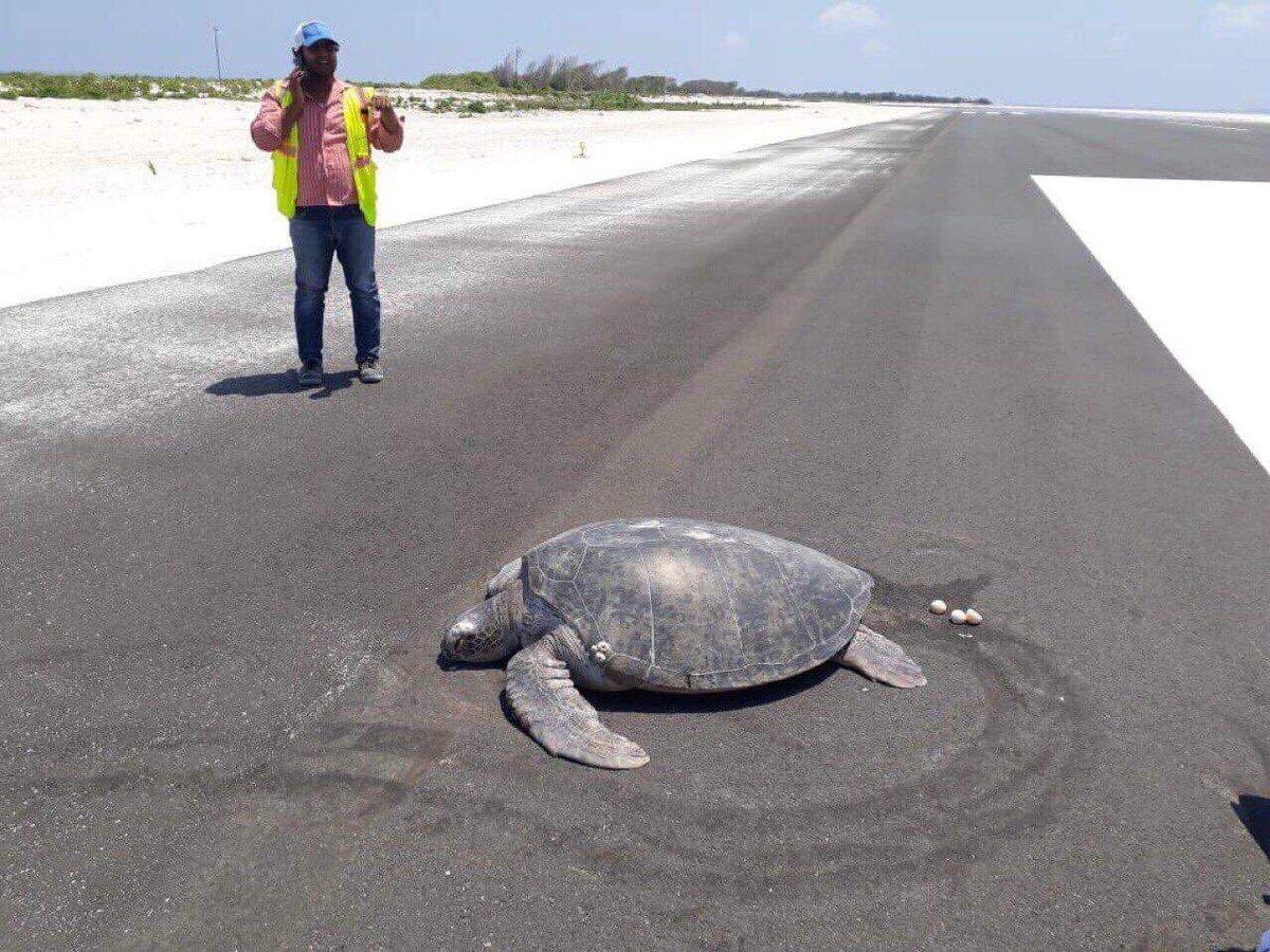 На Мальдивах черепаха отложила яйца на взлетной полосе