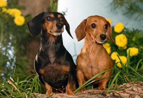 В Китае свиным гриппом заразились собаки