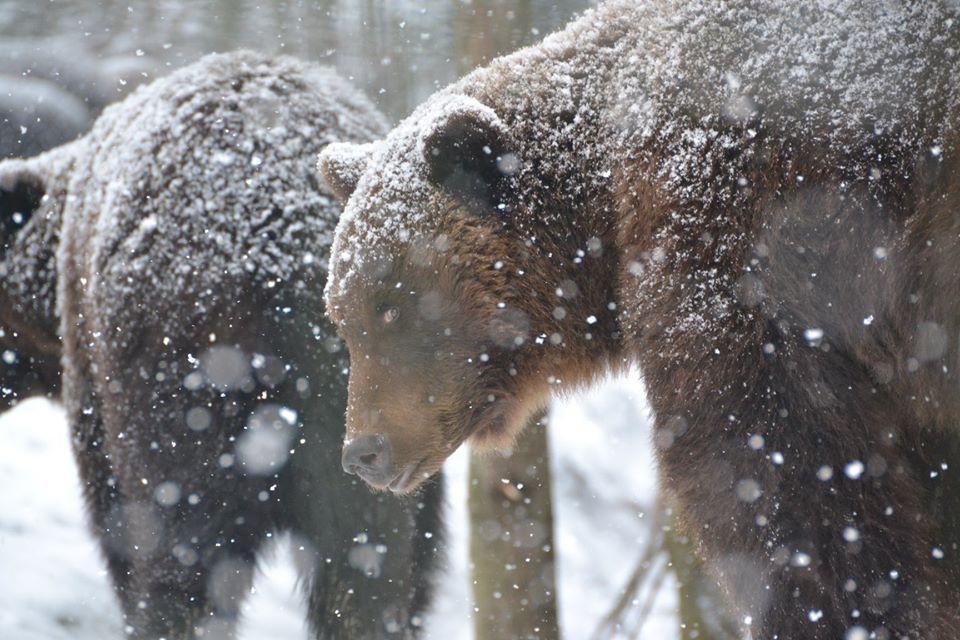 Зима пришла, но спать не хочется. Фоторепортаж: как бурые медведи встрет...
