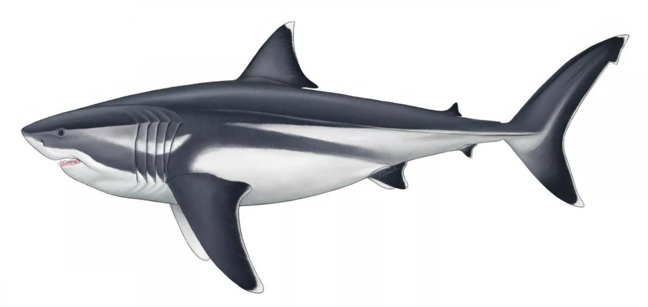 Белые акулы покажутся мелюзгой. Ученые выяснили, насколько огромными был...