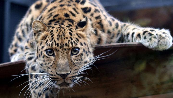 В Индии разъяренный леопард 12 часов терроризировал деревню