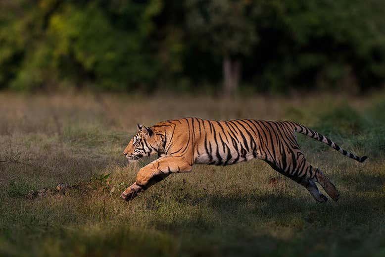 Семь кошачьих жизней. На планете начала расти популяция диких тигров