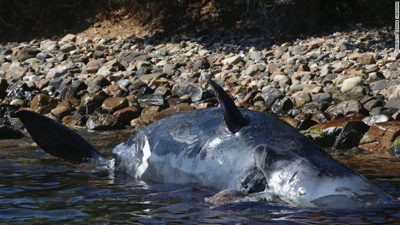 В Италии на берег выбросило мертвого кита с 20 килограммами пластика в ж...
