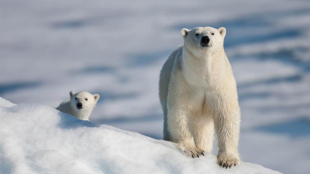 Вымирающий, но не сдающийся. Как эволюционируют белые медведи, чтобы выж...