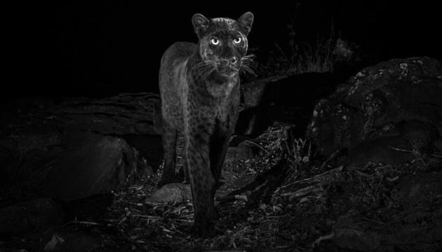 В Кении удалось сфотографировать очень редкого леопарда