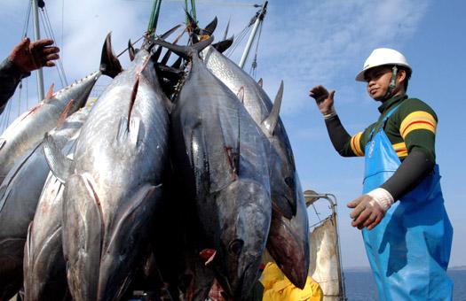 В 2010 году вылов тунца могут запретить