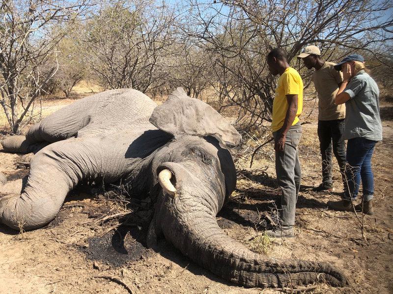 $43 тыс. за одного слона – Ботсвана продала первые охотничьи лицензии