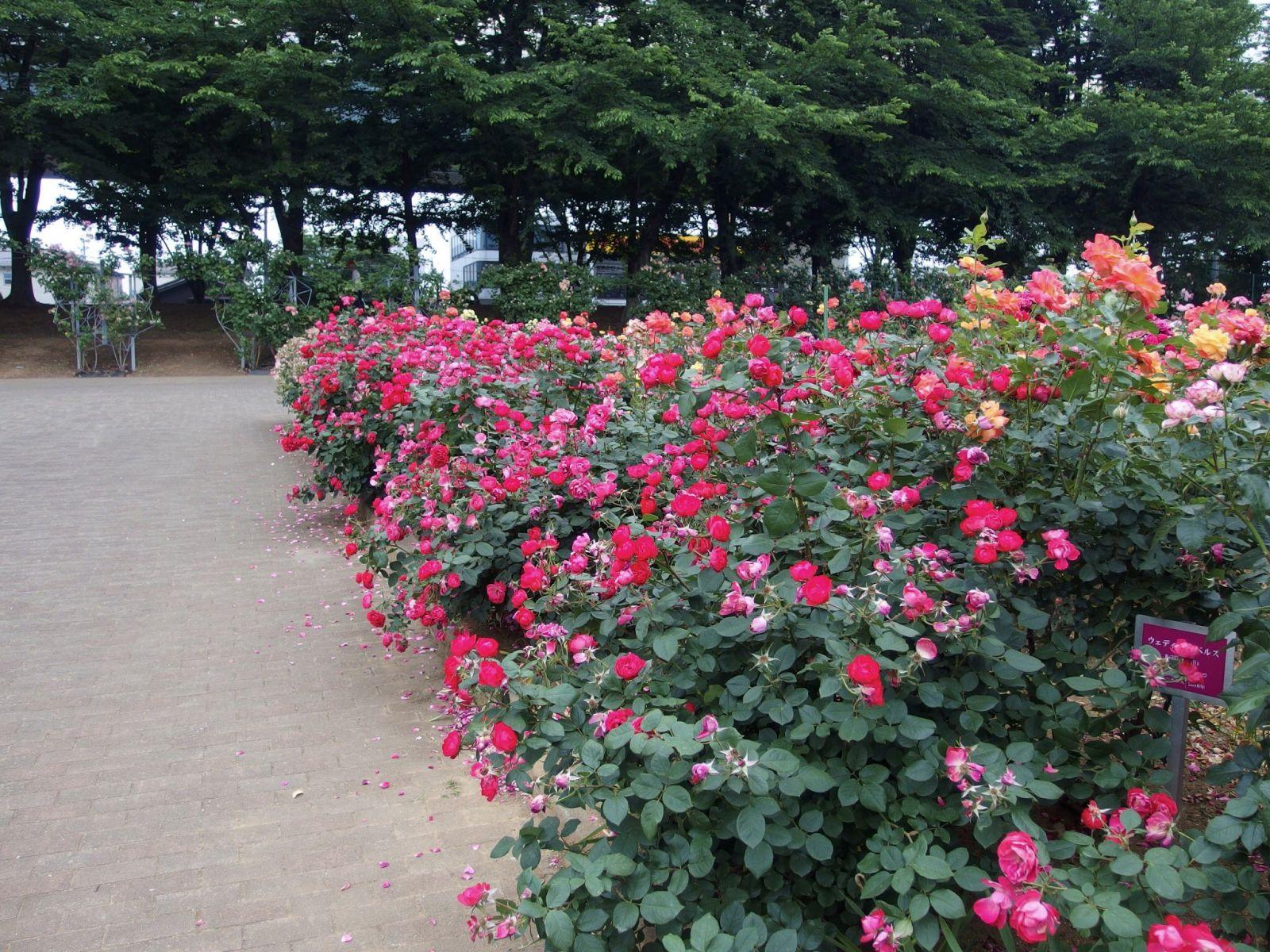 розы, парк, япония
