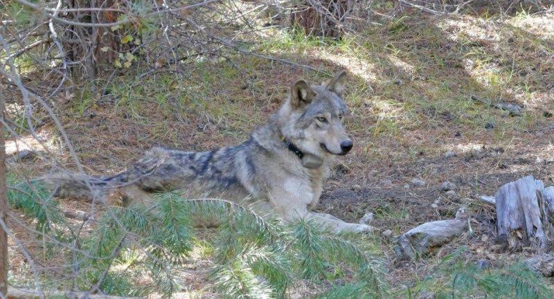 В поисках любви. В США умерла волчица, которая прошла 14 тыс. км в поиск...