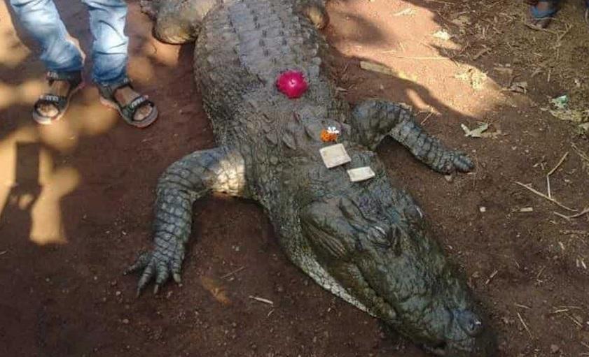 В Индии крокодила-долгожителя пришли хоронить 500 человек