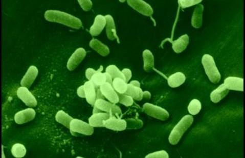 Биологи проследили мутацию бактерий в изменяющихся условиях
