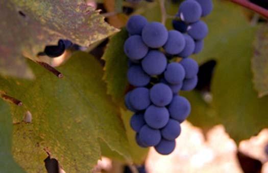 Британцы будут следить за виноградниками из  космоса