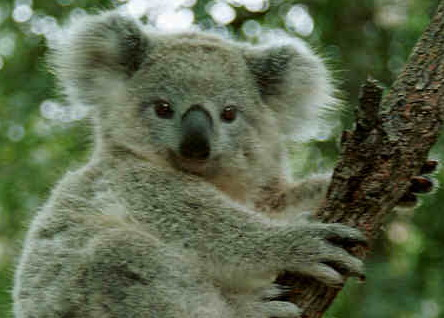 Австралийским коалам грозит исчезновение