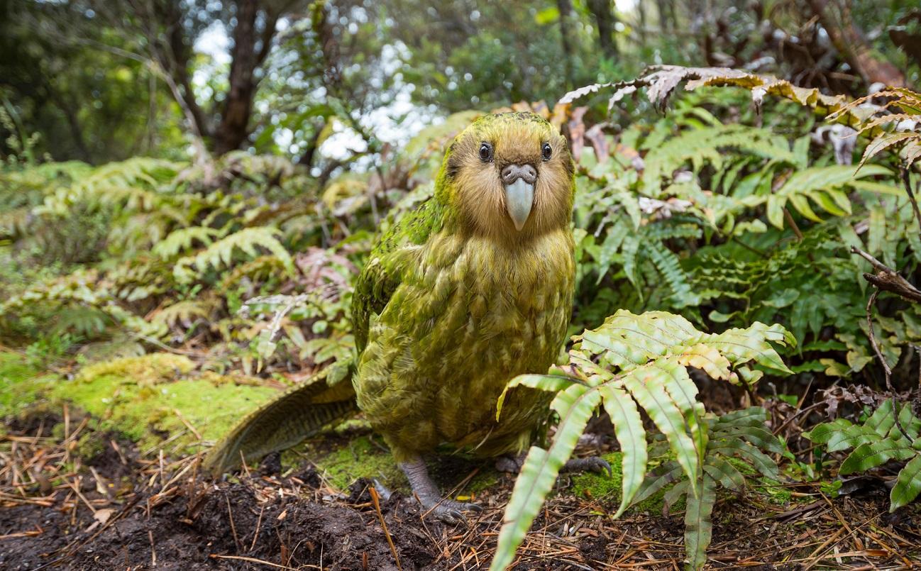 В Новой Зеландии спасают вид самых толстых попугаев в мире