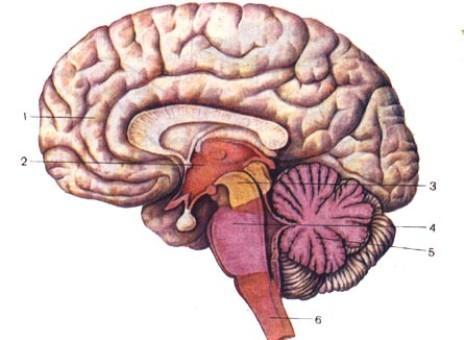 Найден способ восстановления мозга его же клетками