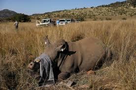 В Южной Африке носорогам спиливают рога, чтобы уберечь от браконьеров