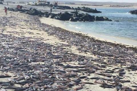 Тысячи мертвых каракатиц вынесло волной на популярный пляж в Чили