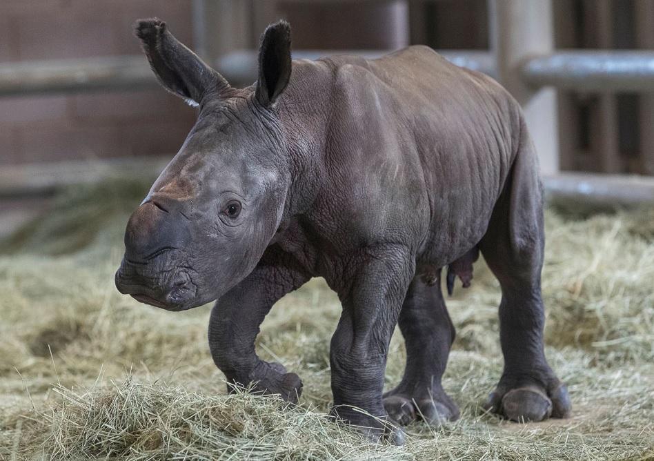 В США впервые родился носорог, зачатый искусственным путем