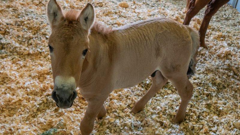 Гены хранили в морозилке. В США клонировали лошадь Пржевальского, котора...