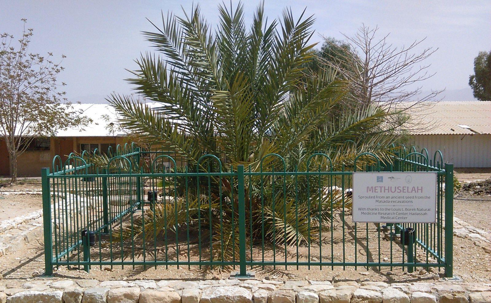 Ожившая история. Как в наше время выращивают пальмы из семян библейской...