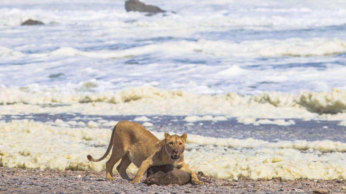 Львы в Намибии перешли на диету из морепродуктов