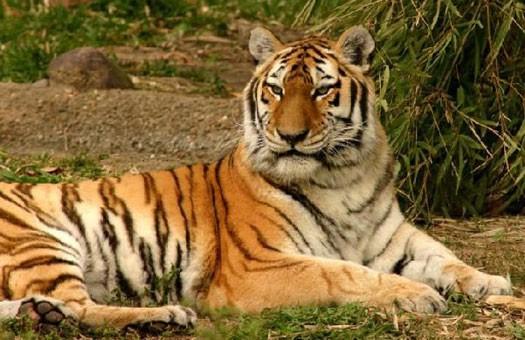 Китайцев судят за съедение редкостного тигра