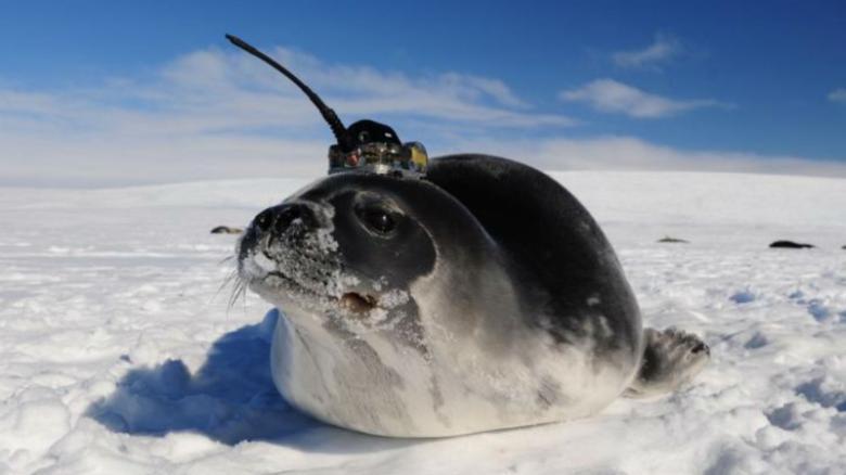 Тюлени с антеннами на головах помогли ученым разгадать загадку Антарктик...