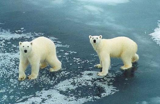 Канадский охотник двое суток плавал на отколовшейся льдине с белыми медв...