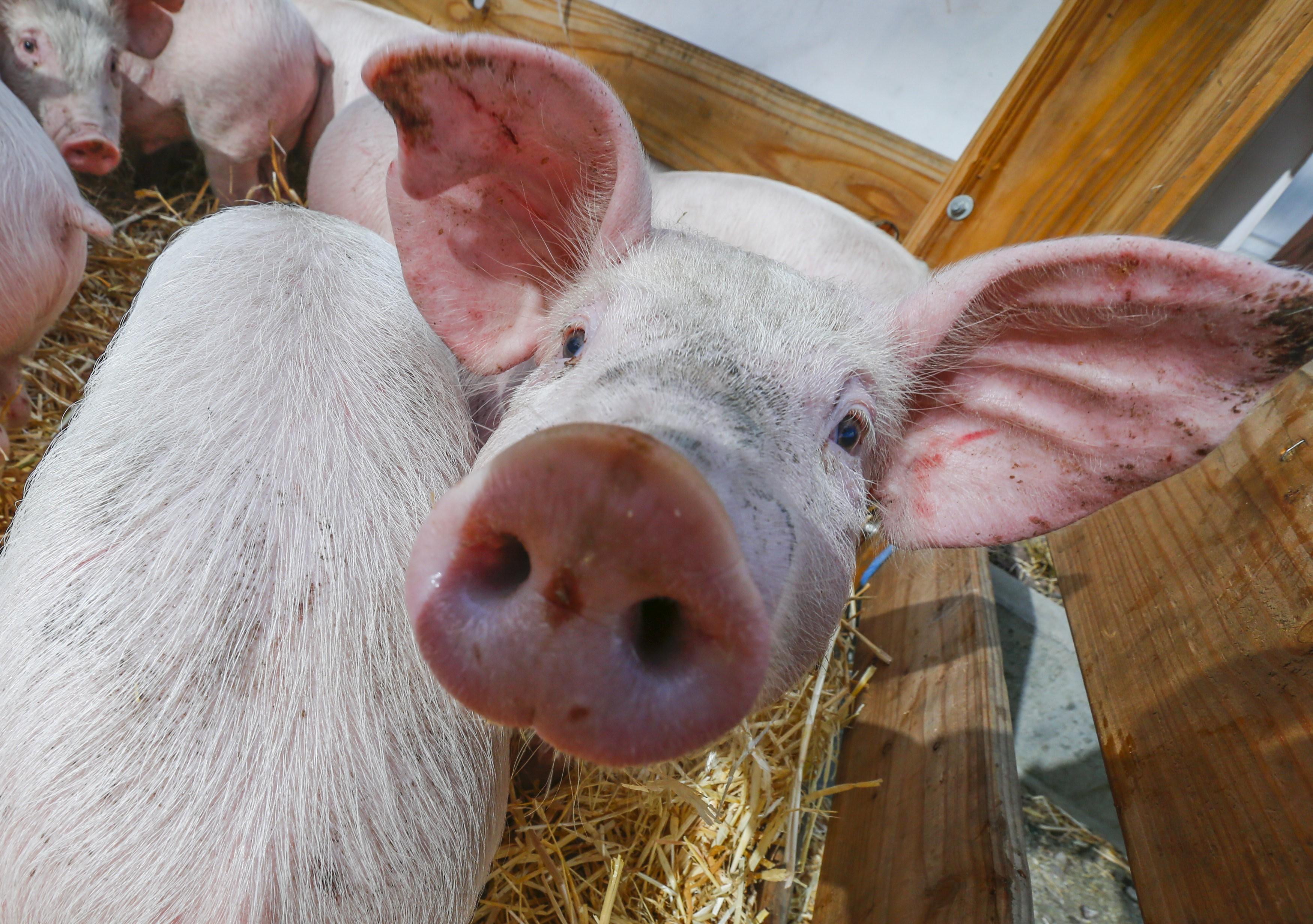 В западных областях Украины отмечены вспышки африканской чумы свиней