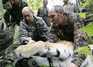 Тигрица Путина исчезла. Ее могли подстрелить браконьеры