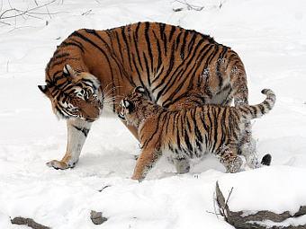 Популяция уссурийских тигров в России сокращается