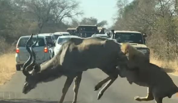 В ЮАР львы освоили новый вид охоты: ловят своих жертв, прячась за машина...