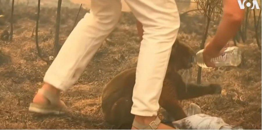 Смелая австралийка спасла коалу от лесного пожара