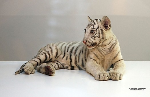 В Ялтинском зоопарке опровергли слухи о гибели Тигрюли
