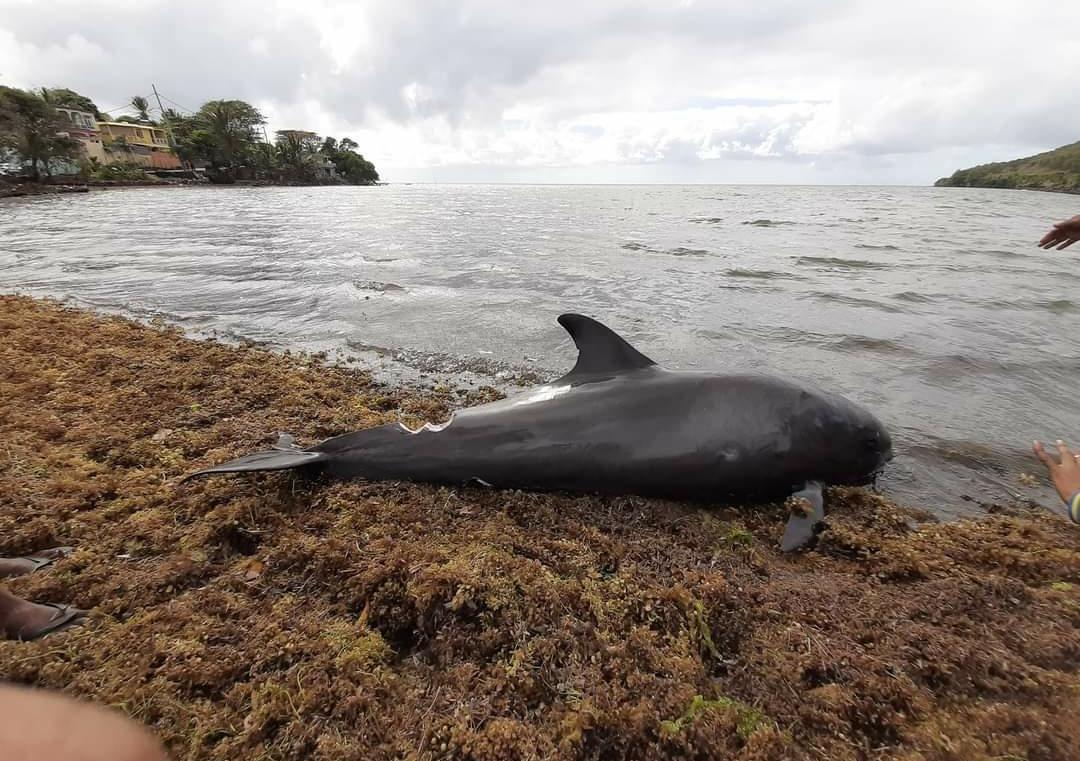 Вблизи Маврикия в Индийском океане нашли мертвыми 40 дельфинов около мес...