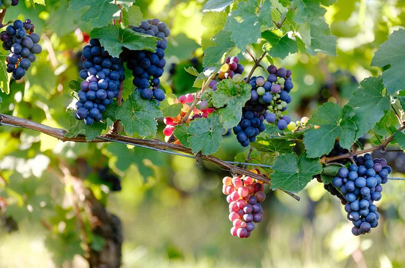 АМКУ просит одесских виноделов не выдавать свои напитки за французские