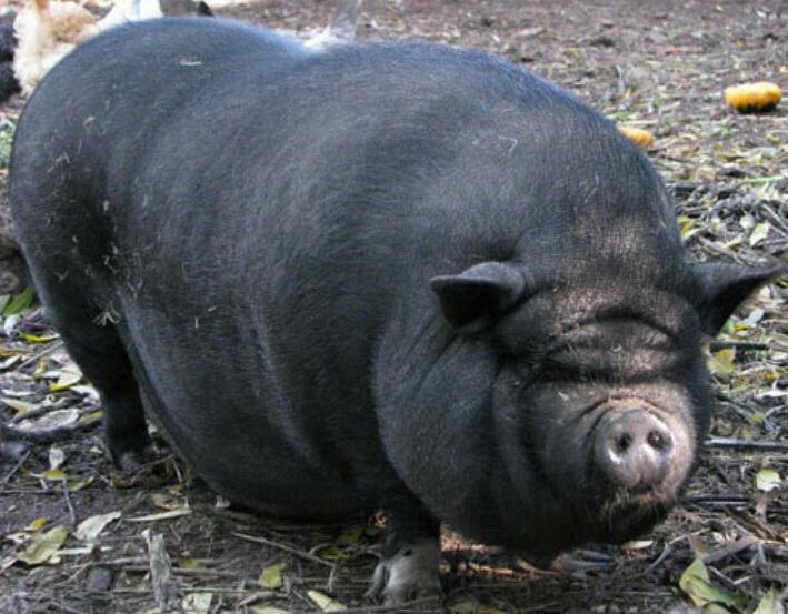В Николаевской области свиньи убили пенсионера