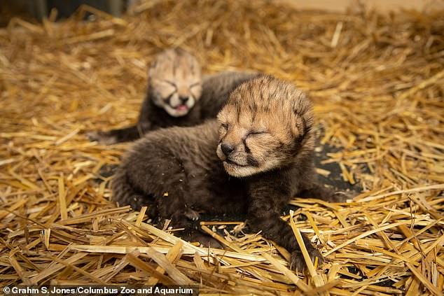 Научное чудо: родились первые в мире гепарды, зачатые с помощью ЭКО