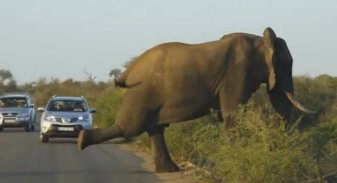 В Африке слон устроил на дороге пробку, занимаясь йогой