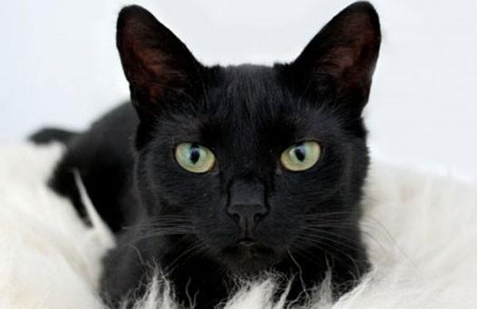 Сегодня - День защиты черных кошек