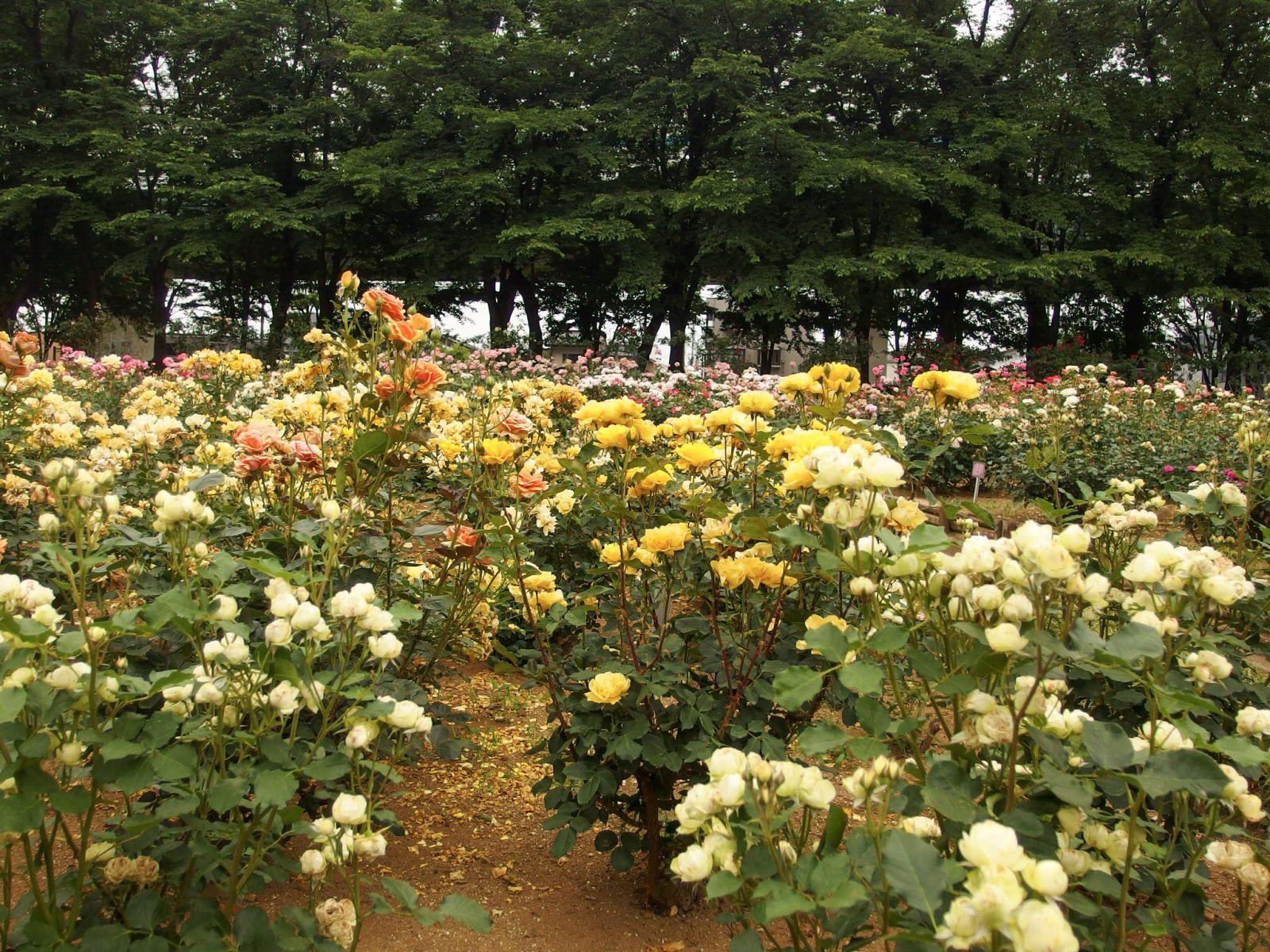 розы, парк