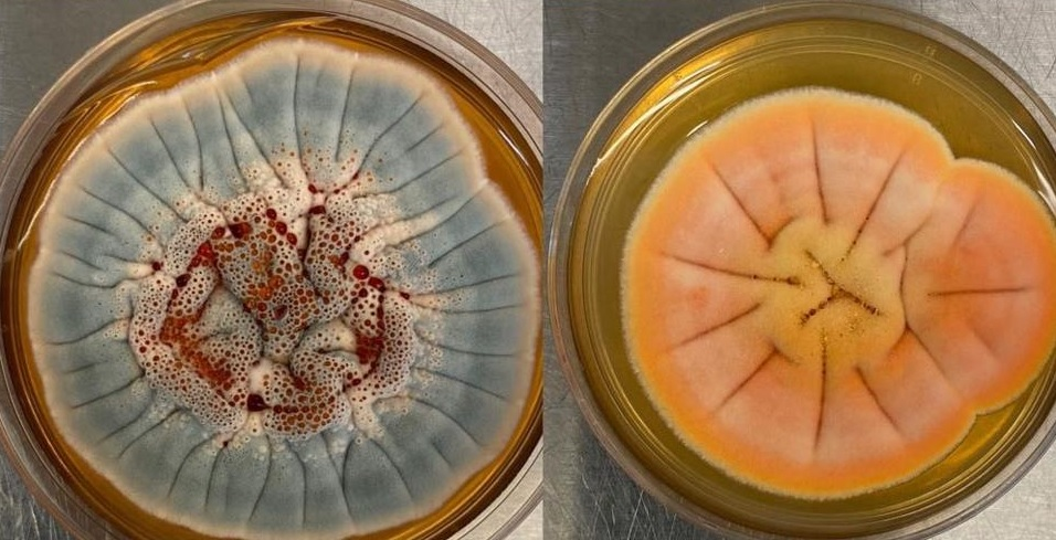 Новый пенициллин. Компания из США собирается заняться производством лека...